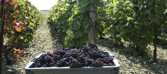 Con la siccità avremo in tavola un vino di qualità migliore?