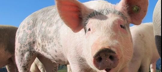 Siamo davvero pronti a trapiantare negli uomini organi di maiali?
