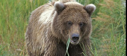Abbattuta dalla Forestale in Trentino l'orsa KJ2
