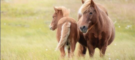 Gli islandesi ai cavalli di razza impongono nomi rigorosamente islandesi