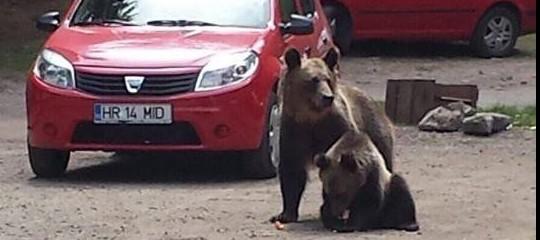 In Romania è stata ordinata dal governo una strage programmata di orsi e lupi