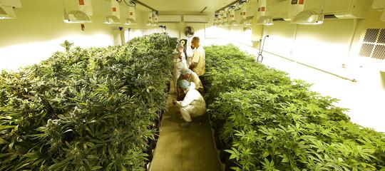 """Emiliano guida la rivolta delle regioni: """"Puglia produrrà cannabis a uso terapeutico"""""""