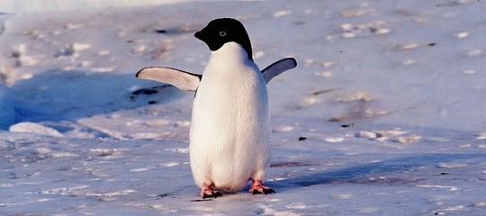 I pinguini dell'Antartide non riescono più a riprodursi
