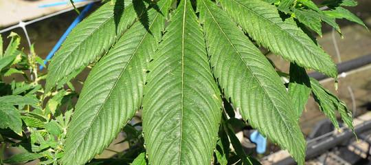 Cannabis: Camera approva ddl per uso terapeutico, ora passa al Senato