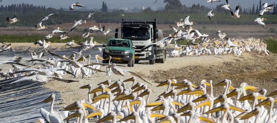 Pellicani troppo voraci, in Israele scatta il piano per difenderei pescatori