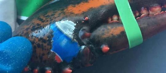 In Canada hanno pescato un'aragosta con 'tatuato' il logo della Pepsi