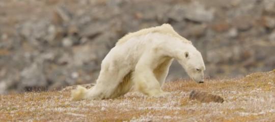 La fame sta facendo strage di orsi polari. Un video