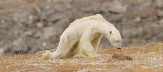Questo orso polare (forse) non sta morendo di fame. Cambia qualcosa?