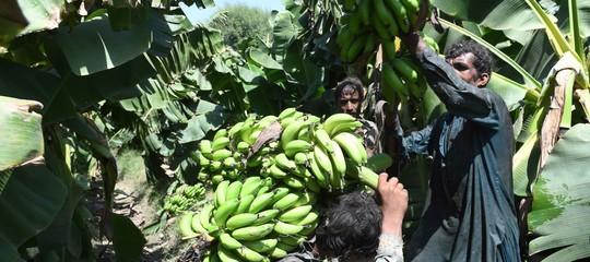 Un fungo sta distruggendo le piantagioni di banane in tutto il mondo