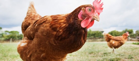 Ubriaco e pazzo di gelosia, decapita venti polli per sfogarsi