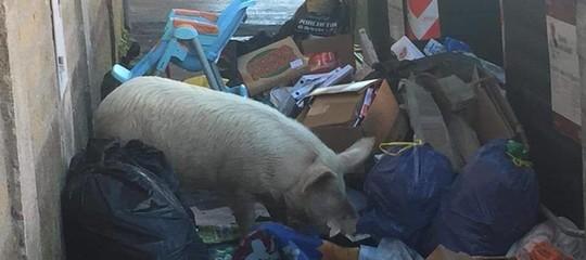 Il maiale fotografato a Roma in realtà nel quartiere lo conoscono tutti