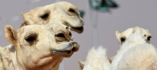 Al concorso di bellezza per cammelli di Riad c'è chi li ritocca colbotox