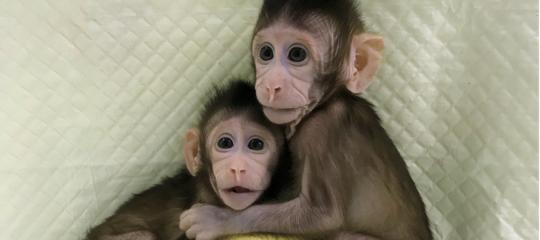 Genetica: 22 anni dopo Dolly, clonate scimmie