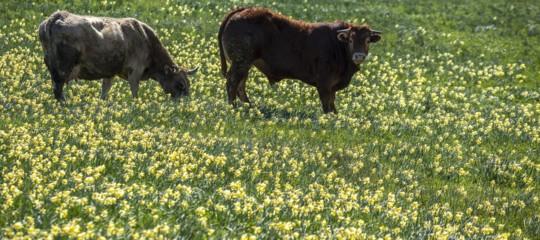 Una mandria di bovini selvatici sta seminando il panico nel cagliaritano
