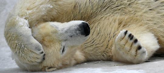 Gli orsi polari stanno veramente morendo di fame. Una nuova ricerca lo dimostra