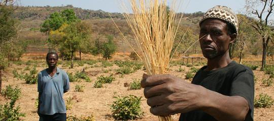 Sarà il fonio,il super grano senza glutine, a salvare l'Africa dalle carestie?