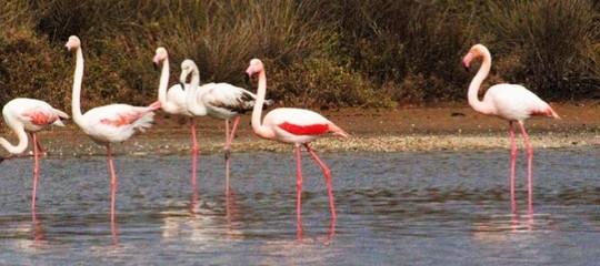Nel Parco del Circeo sono comparsi dei fenicotteri rosa