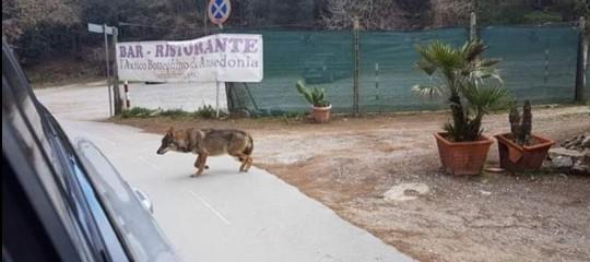 Nella pineta della Feniglia sono arrivati i lupi? Cosa sappiamo finora