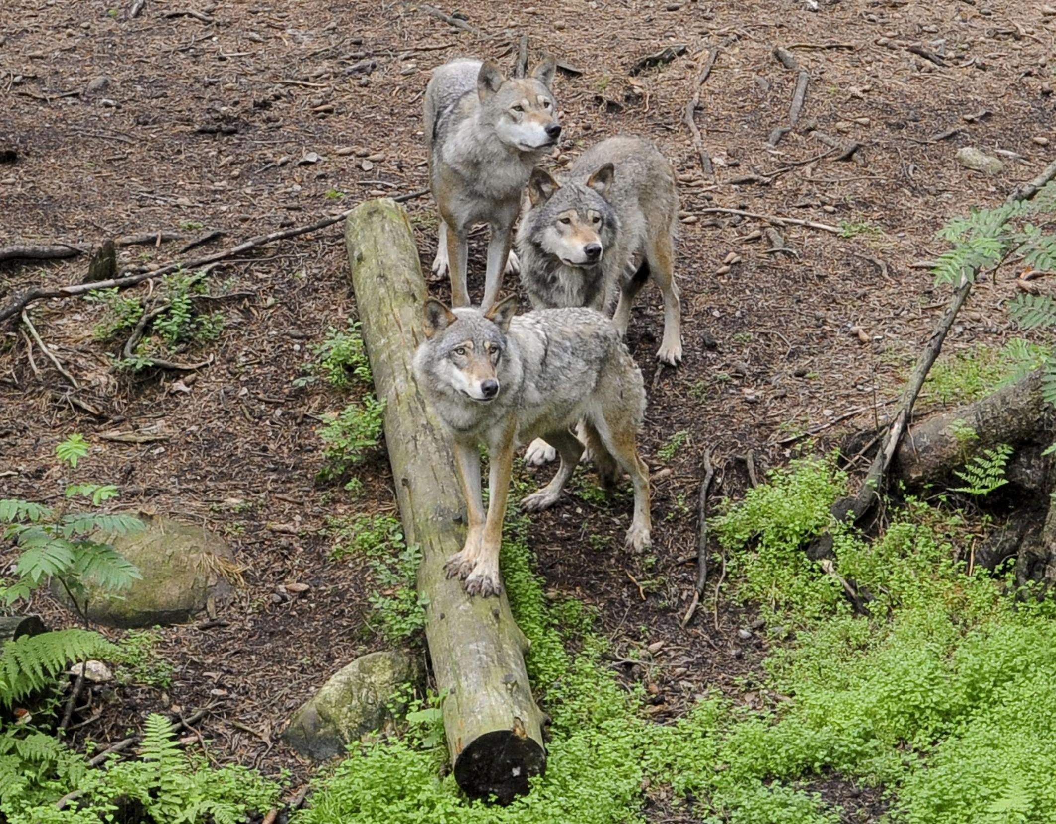 Quanti sono realmente i lupi in italia for Deputati e senatori quanti sono