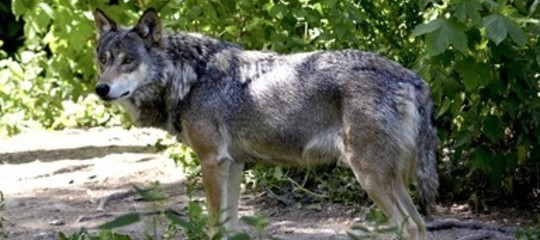 In Italia ci sono troppi lupi che minacciano l'uomo? Cosa sapere