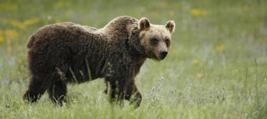 Uccidere un orso in Abruzzo non costituisce dunque reato?