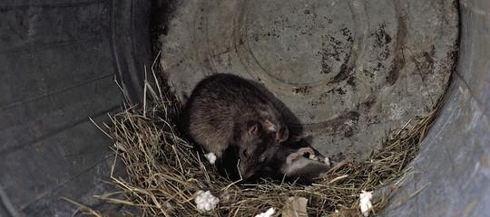 I topi di New York stannosviluppandosuperbatteriresistenti agli antibiotici