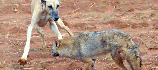 Per ottenere i Mondiali di calcio il Marocco sta sterminando i cani randagi