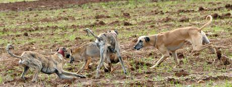 Combattimenti tra cani randagi in Marocco