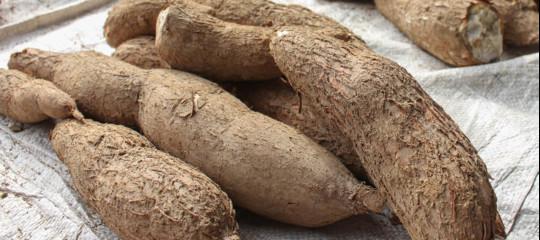 virus manioca alberi alimentare africa