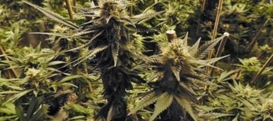 Droga: cannabis tra i pomodorini, sequestrate 6,5 tonnellatenel Ragusano
