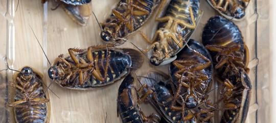 Cosa produce il più grande allevamento di scarafaggi (6 miliardi) al mondo
