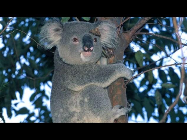 Dalla strage di koala al cambio di panchina dell'Atalanta, le 5 notizie di oggi da non perdere