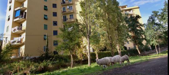 Storia delle pecore (di Berlino) che la Raggi vuole come tosaerba