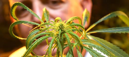 Il Consiglio Superiore di Sanità chiede lo stop alla vendita dellamarijuanalight
