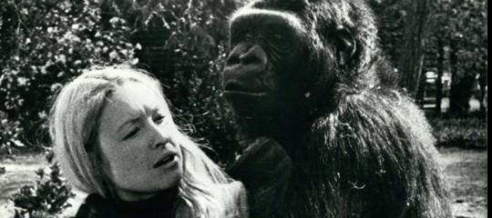 koko gorilla parlante morta