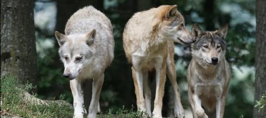 Ambiente: Costa, chiederòimpugnativa contro leggi su lupi e orsi