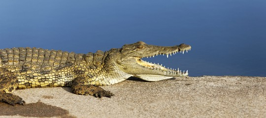 coccodrillo maccarese