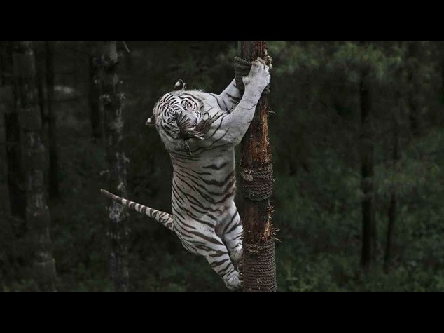 Orrore in India: 12enne sbranato da una rara tigre bianca allo zoo