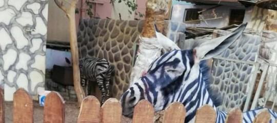 Uno zoo egiziano spaccerebbe due asini dipinti per zebre