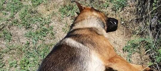 Hanno uccisoKaos, il cane eroe di Amatrice