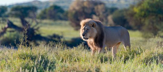 Alla fine quanti leoni sono rimasti sulla faccia della Terra? Una stima