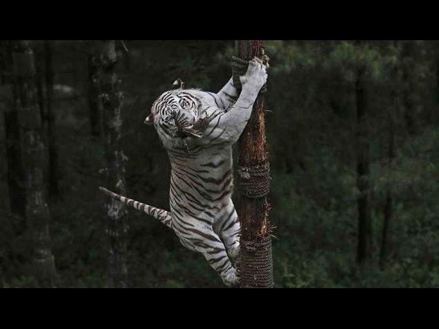 Orrore in India: 12enne sbranato da una rara tigre bianca allo zoo - Video