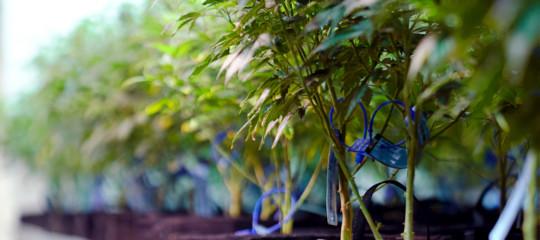 Maxifurtodi marijuana legale in azienda agricola nel Cagliaritano