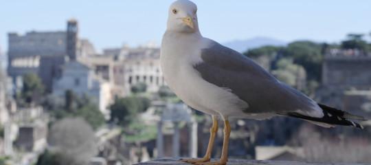 Roma è invasa da gabbiani giganti e aggressivi, scrive il New York Times