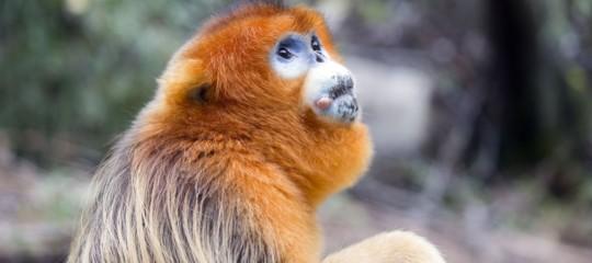 Usa: è mortaToi, rarissimascimmiettaPygathrixnemaeusdello zoo diPhiladelphia