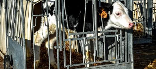 In Italia si allevano in gabbia 50 milioni di animali. Spazi e condizioni in cui sono costretti a vivere