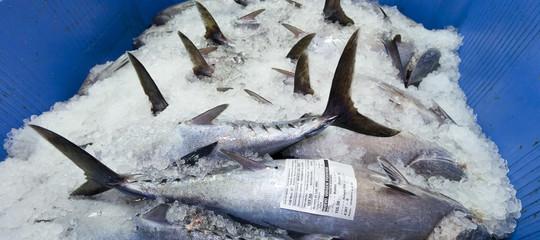 tonno rosso caccia mercato nero