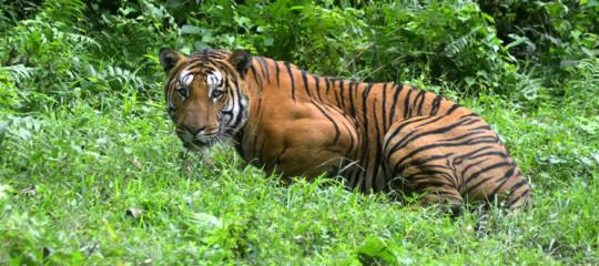 India: dopo due anni di caccia, uccisa la tigre T1. Aveva sbranato 13 persone