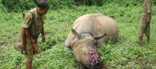 Bracconaggio corni fasulli rinoceronti