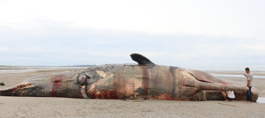 Balena morta plastica pancia
